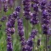 Lavender lotion Icon