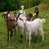 AL Raheem Goat Farm Icon