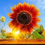 Sunflower Wall Decor Icon