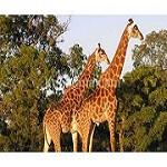 Safarisupremacy1 Icon