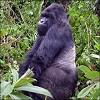 Africa Gorilla Safaris Icon
