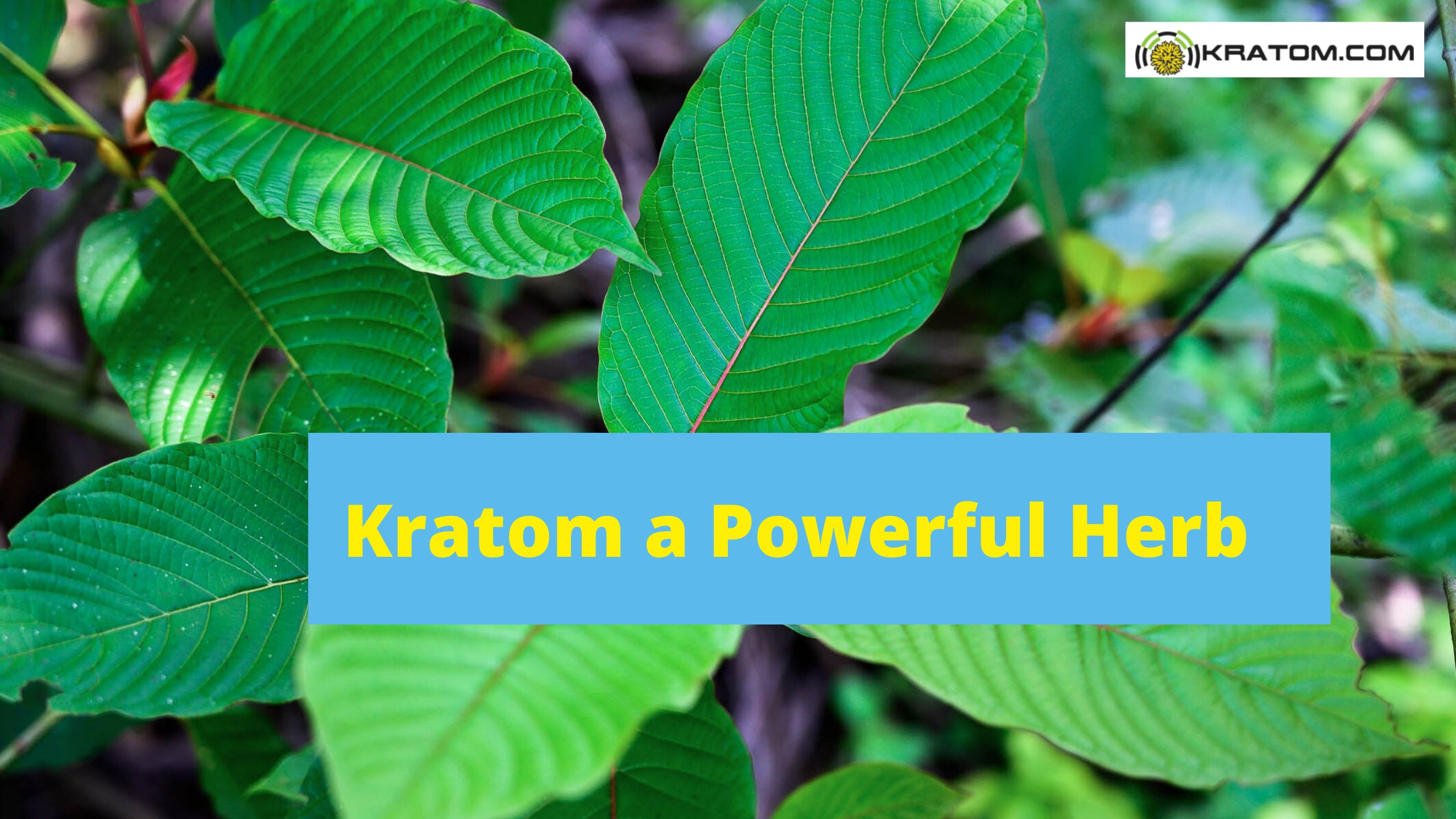 Kratom a Powerful Herb Is Changing the Lives of Millions