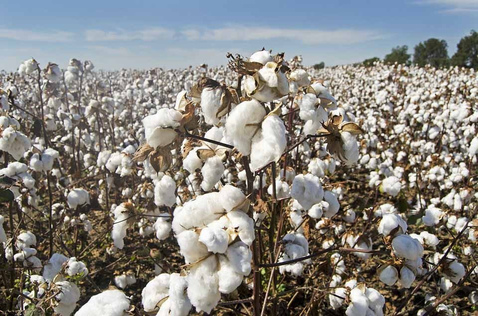 History of Cotton and Cloth