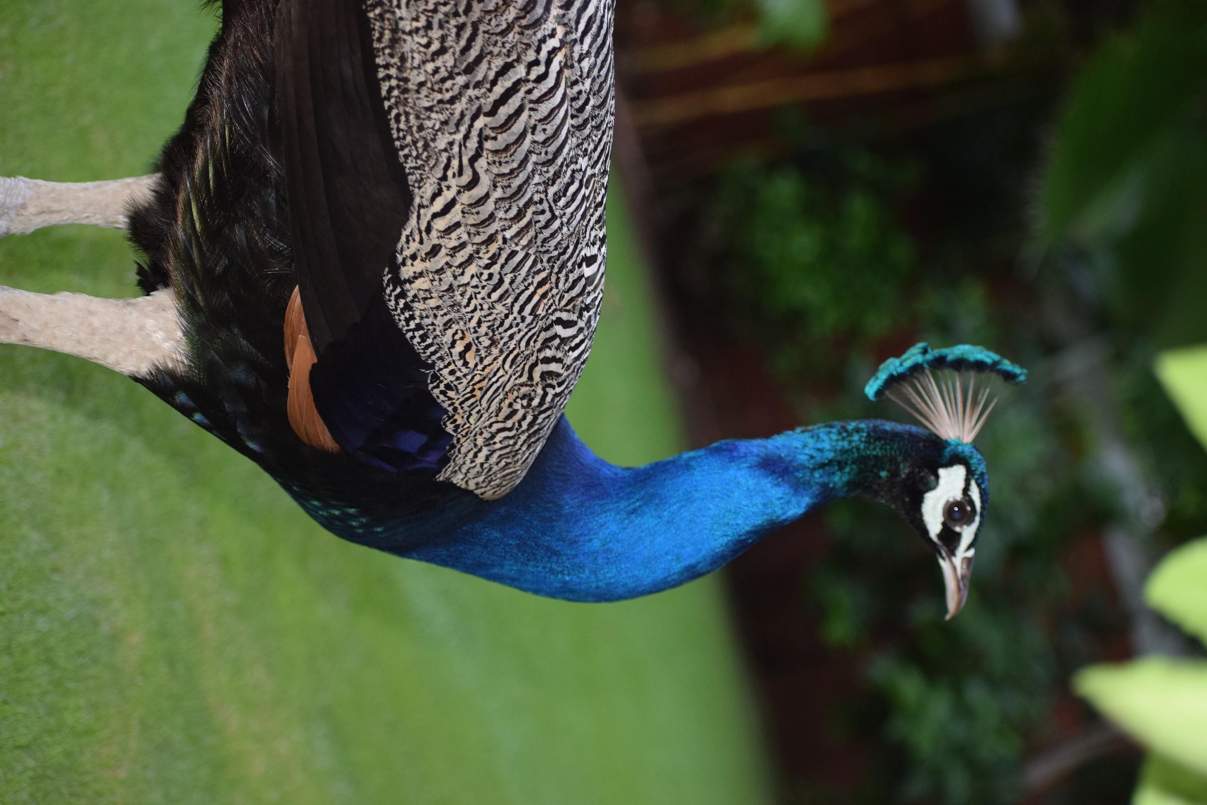 peacock random click