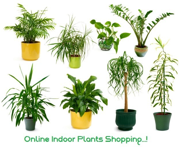 Indoor Plants: Buy Indoor Plants Online at Best Prices in Kuwait