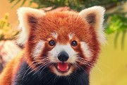 Red panda numbers are rising in Nepal