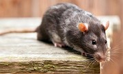What Makes Chemical Based Rodent Control Products So Risky?