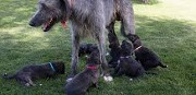 Is Irish wolfhound the perfect pet match for your family?