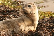 How Are Seals Different From Sea Lions