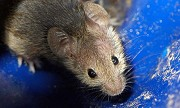 Factors Which You Must Consider Before Buying Rodent Repellents