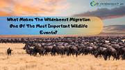 What Makes The Wildebeest Migration One Of The Most Important Wildlife Events?