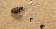 How to Get Rid of Wood Boring Beetles