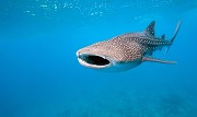Get ready for snorkeling with whale sharks in La Paz