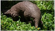 China removes pangolin scales from traditional medicine list helping protect worlds most trafficked mammal
